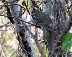 Pheasant Cuckoo, Dromococcyx phasianellus