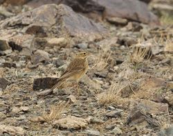 Pipit in the Altai Mountains,Mongolia in May