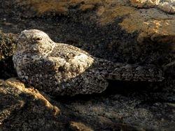 Pygmy Nightjar, Hydropsalis hirundinacea