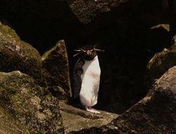 Rockhopper Penguin on Macquarie Island