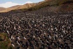 Royal Penguin colony on Macquarie Island