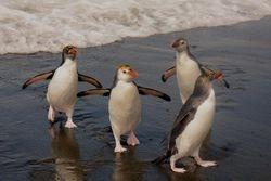 Royal Penguins on Macquarie Island