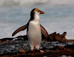 Royal Penguin on Macquarie Island