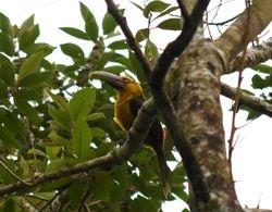 Saffron Toucanet, Pteroglossus bailloni