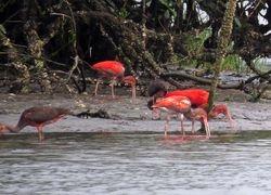 Scarlet Ibis,  Eudocimus ruber