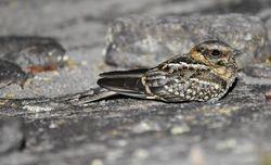 Scissor-tailed Nightjar   Barry Wright