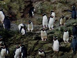 Snares Penguins on the Snares Islands