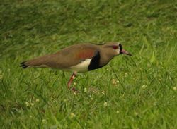 Southern Lapwing, Vanellus chilensis