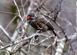 Spotted Piculet, Picumnus pygmaeus