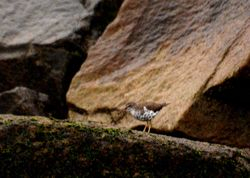 Spotted Sandpiper, Actitis macularia