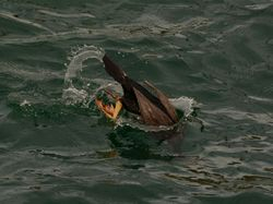 Spotted Shag in Bluff Harbour