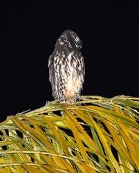 Stygian Owl, Asio stygius   Barry Wright