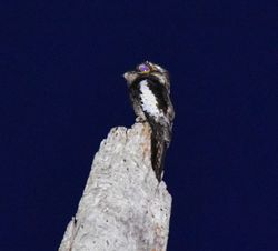 White-winged Potoo    Barry Wright