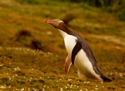 Yellow-eyed Penguin on Campbell Island