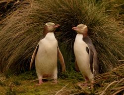 Yellow-eyed Penguins on Campbell Island
