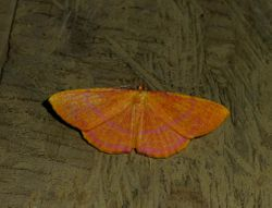 butterfly on Peleng
