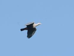 Pinon Imperial Pigeon, Ducula pinon