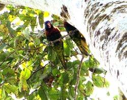 Coconut (Rainbow) Lorikeet, Trichoglossus haematodus