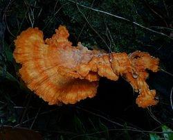 fungus on Peleng