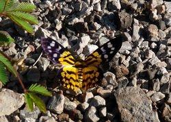 Dysphania militaris (Geometridae)