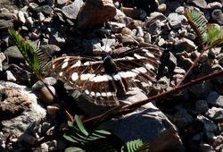 Athyma kanwa (Nymphalidae)