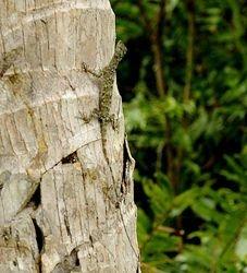 lizard on Peleng