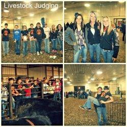 Livestock Juding