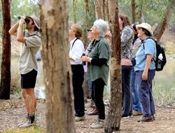 All eyes on the Black faced Cuckoo Shrike