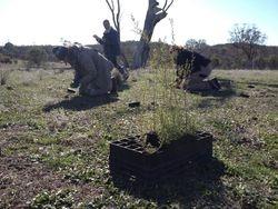 Prickly Tea Tree Tubestock