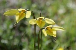 Golden Moth Orchid, Kooyoora