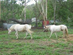 Saddleview Acacia Magic & Saddleview Acacia Portabella