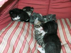Cassies kittens 2 days later