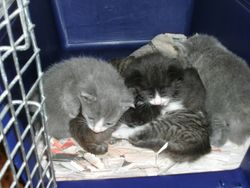 Cassies kittens at 4 weeks of age