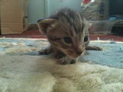 Kitten at 2 weeks
