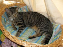 Young brown tabby - Lost Alexandra Hills