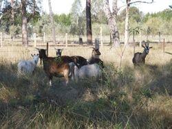 the goat herd