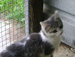 Semi feral kitten - ADOPTED