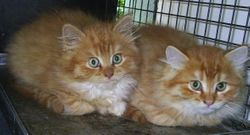 Kittens from Gympie