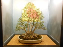 5 Trunk Willow Leaf Ficus