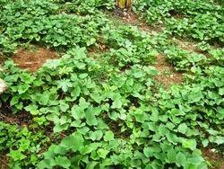 New crop of batata