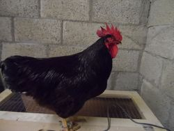 rhode island red large fowl cock