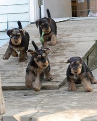 Wild Romping Puppies