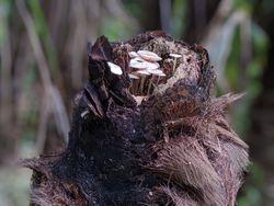 Fungus on dead palm
