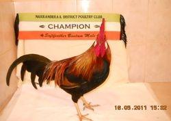riley champion s/f male  narrandera show