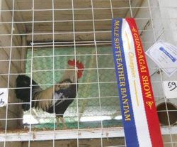 gold duckwing  champion leghorn larger or bantam  gundy show 2012  and best leghorn in show