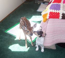 A fawn & Pokieboy making friends in our house.
