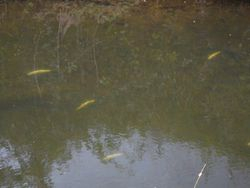 Some of the dead fish upstream of Kennel Bridge