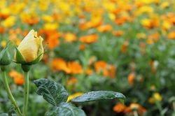 Rosebud and Yellows