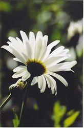 Backlit Daisy
