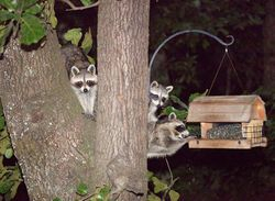 racoons up at tree